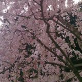 京都の桜もそろそろ終わりかな?と思っていましたが、京都の中心